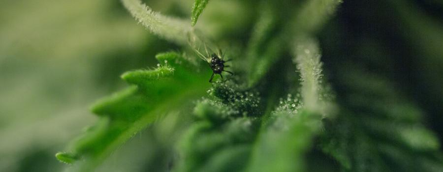 Plantas de plaga de cannabis