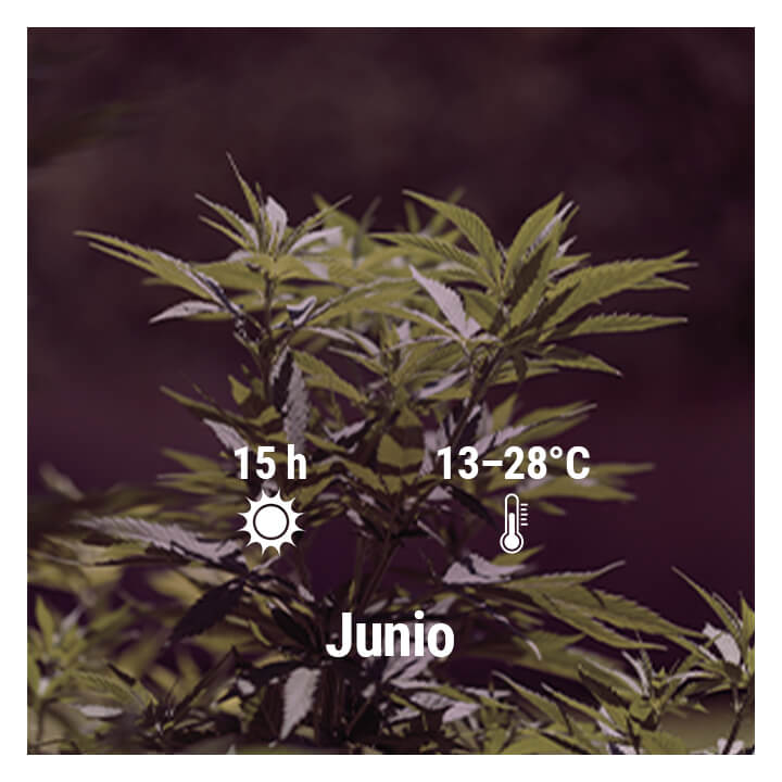 How To Grow Cannabis Outdoors In Spain