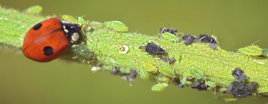 mariquita depredador cannabis