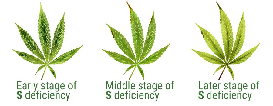 sulphur deficiency cannabis leaves