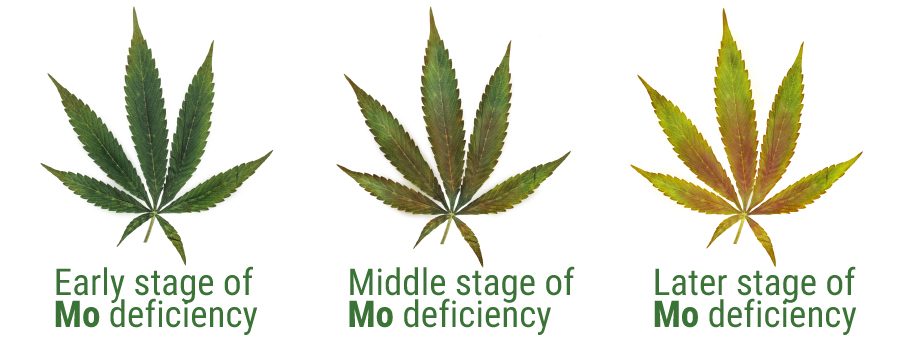 Molibdeno deficiency cannabis cultivation