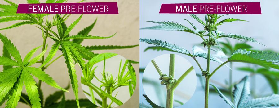 hermafrodita plantas masculinas comparación y pre-cannabis flor femenina