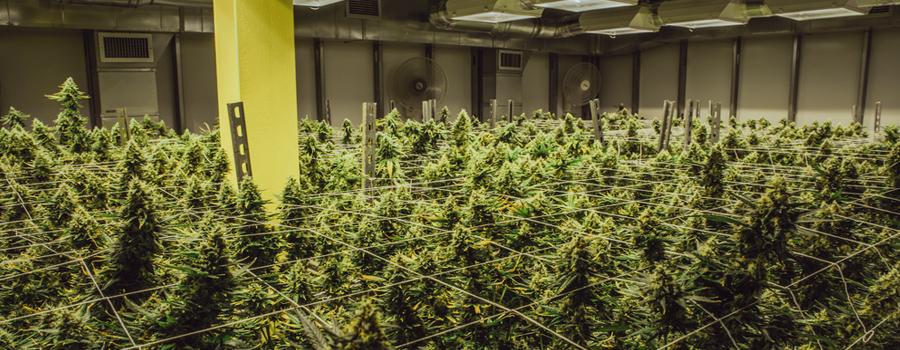 Legalización de la industria de cannabis EE.UU. ley de mercado de california nuevo Trump