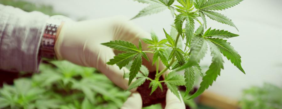 Agencia federal de cannabis alemania