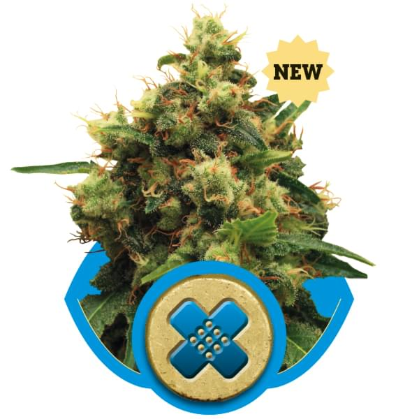 Painkiller XL CBD variedades de cannabis