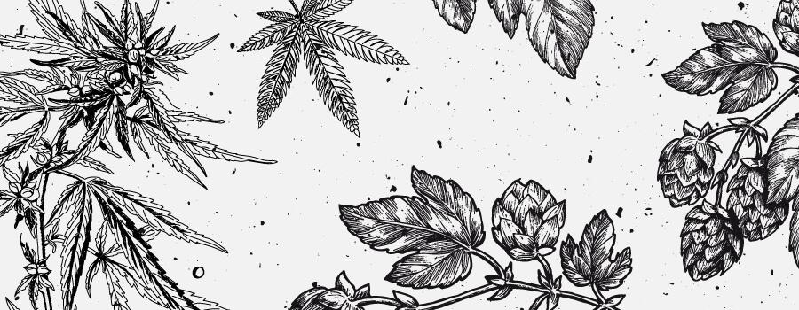 Mirceno Cannabis Terpeno