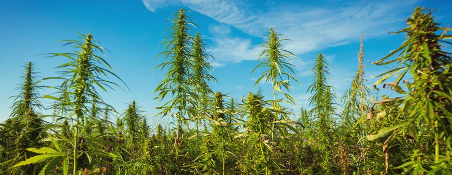Permacultura agricultura cannabis integración natural integración de compañeros