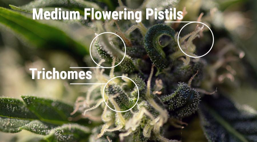 pistilos tricomas cannabis planta