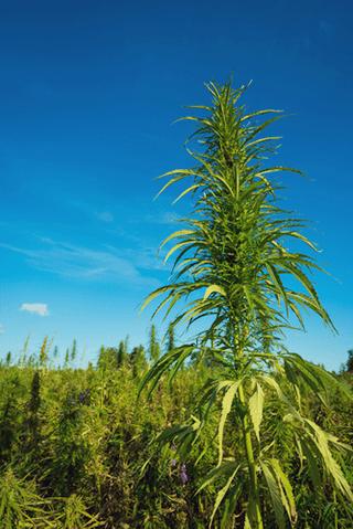 la agricultura Permacultura cannabis integración natural siembra asociada