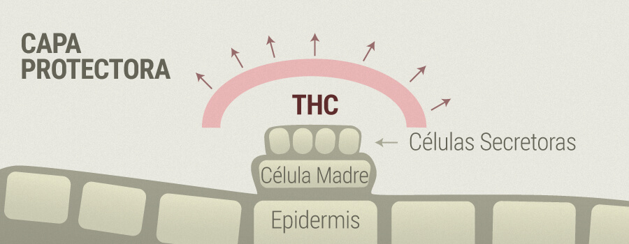 Rosácea y THC