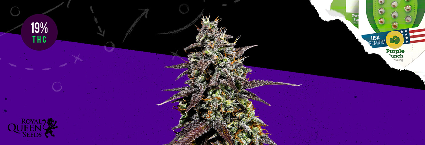 Purple Punch Automatic