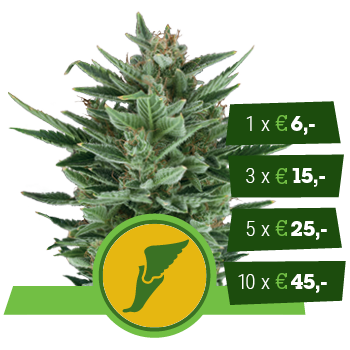 Quick One Royal Queen Seeds