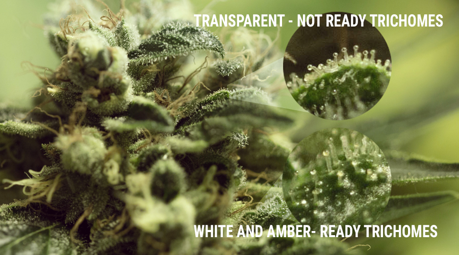 Tricomas cultivo hongos marihuana uv luz calyx bud cannabis