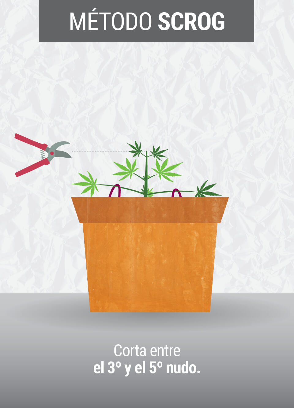 Cultivando cannabis con el método SCROG (Screen of Green)