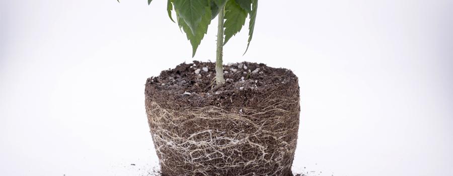 Raíces cannabis nutrientes alimentación drenaje oxígeno plantas