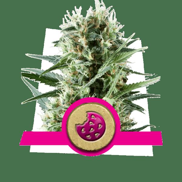 Lemon Brillante Silver Haze niveles de dopamina creatividad cannabis cepas aumentar aumento lóbulo frontal correlatividad estudio pensamiento divergente búsqueda de novedad (2)