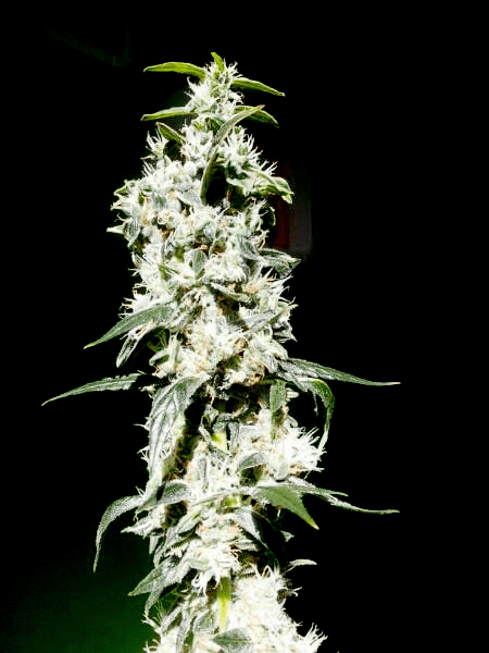 Jack Auto Royal Queen Seeds Cannabis Semillas Cepas Principiantes