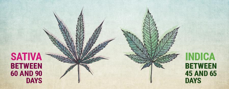 Crecimiento vegetativo sativa e indica