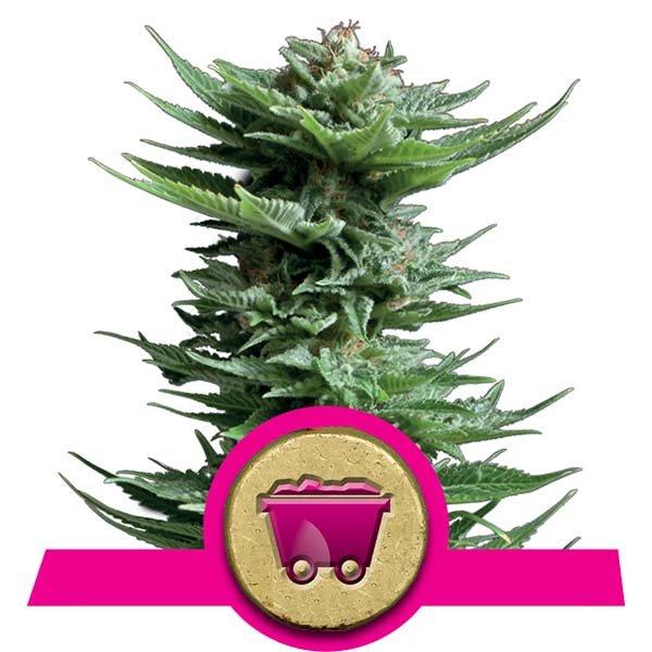 shining silver haze plante