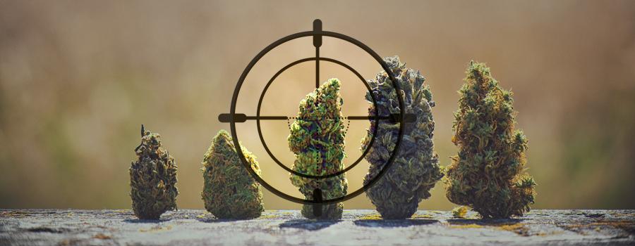 ADN cazador de caza cannabis landrace India Pakistán Kush Afganistán África Jamaica