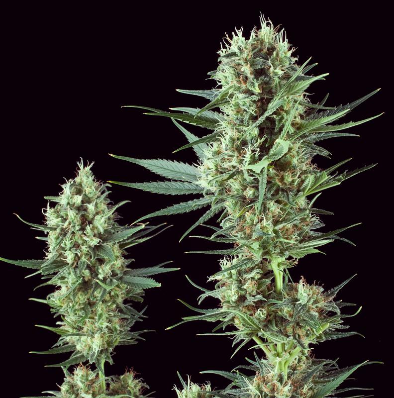 special kush thc baja variedad marihuana