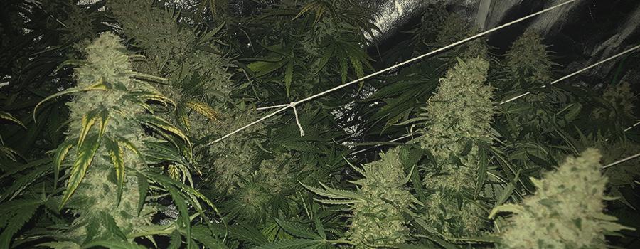 05 Tipos de Soporte para cogollos pesados en Cultivos de Interior