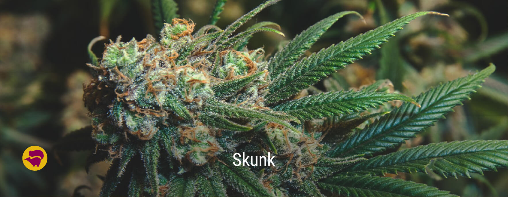 Skunk #1