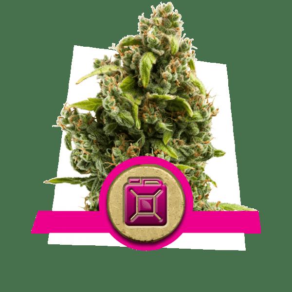 Sour Diesel niveles de dopamina creatividad cannabis cepas aumentar aumento lóbulo frontal correlatividad estudio pensamiento divergente búsqueda de novedad