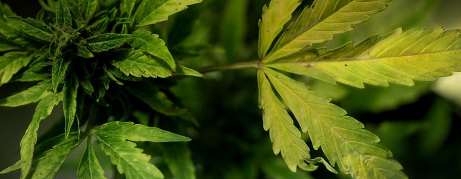 sulphur deficiency cannabis nutrients