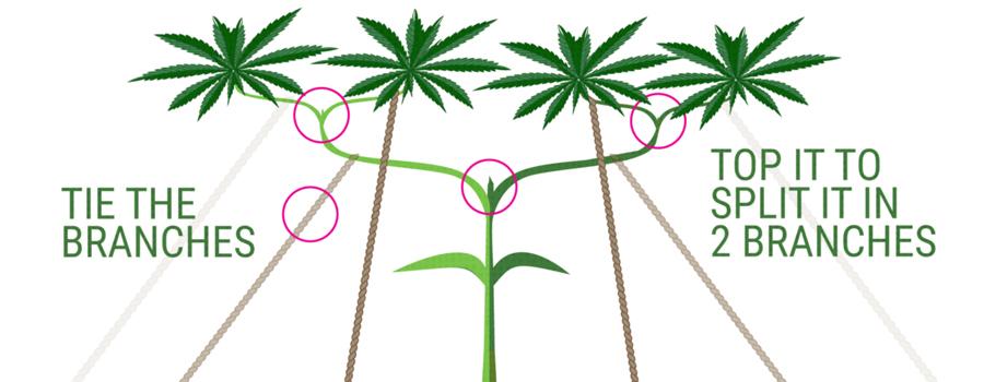 main-lining cultivo cannabis