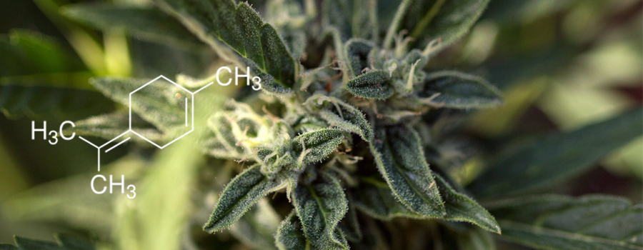 Terpinolene terpeno cannabis