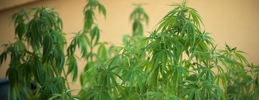 Cuestiones de riego cannabis