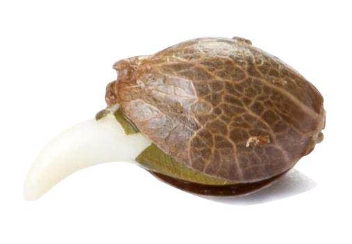 las mejores semillas de cannabis