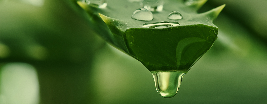 HOW ALOE VERA CAN BENEFIT CANNABIS PLANTS