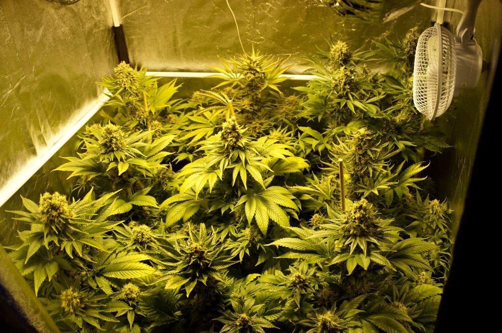 mejores semillas de marihuana