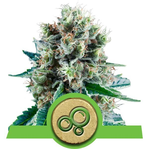 Bubble Kush Auto Royal Queen Seeds
