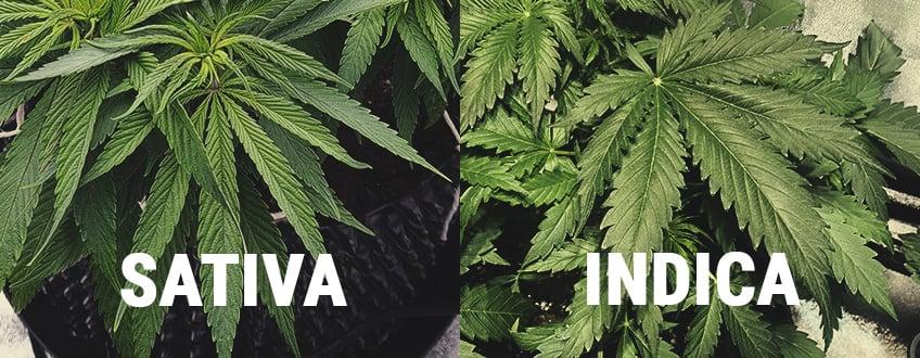 ¿Cuál es la diferencia entre cannabis Indica y Sátiva?