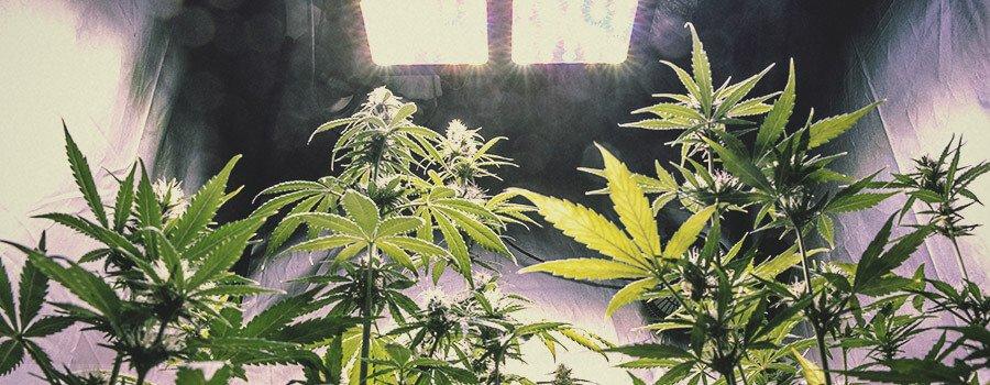 ¿Podemos aumentar la producción de cannabinoides, terpenos o flavonoides en la planta?
