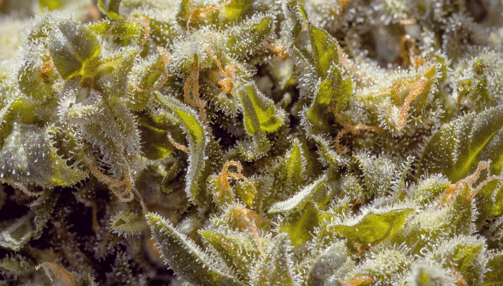 enrojecimiento de los ojos aceite de resina de cannabis de sensibilidad alérgica reacciones de hipersensibilidad de polen goteo nasal del poste de la piel con picazón senos hinchados