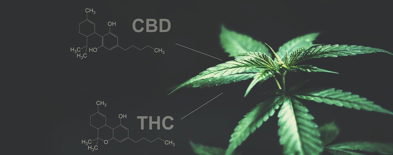 ¿Hay alguna diferencia entre el THC y el CBD en este sentido?