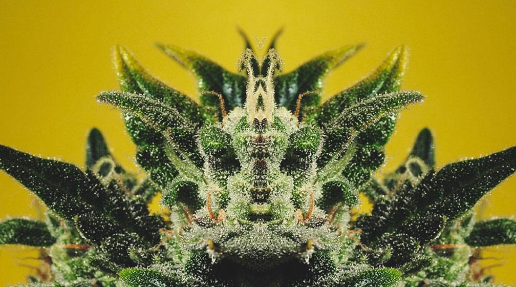 """¿Qué significa la frase """"La planta muestra la verdad""""?"""
