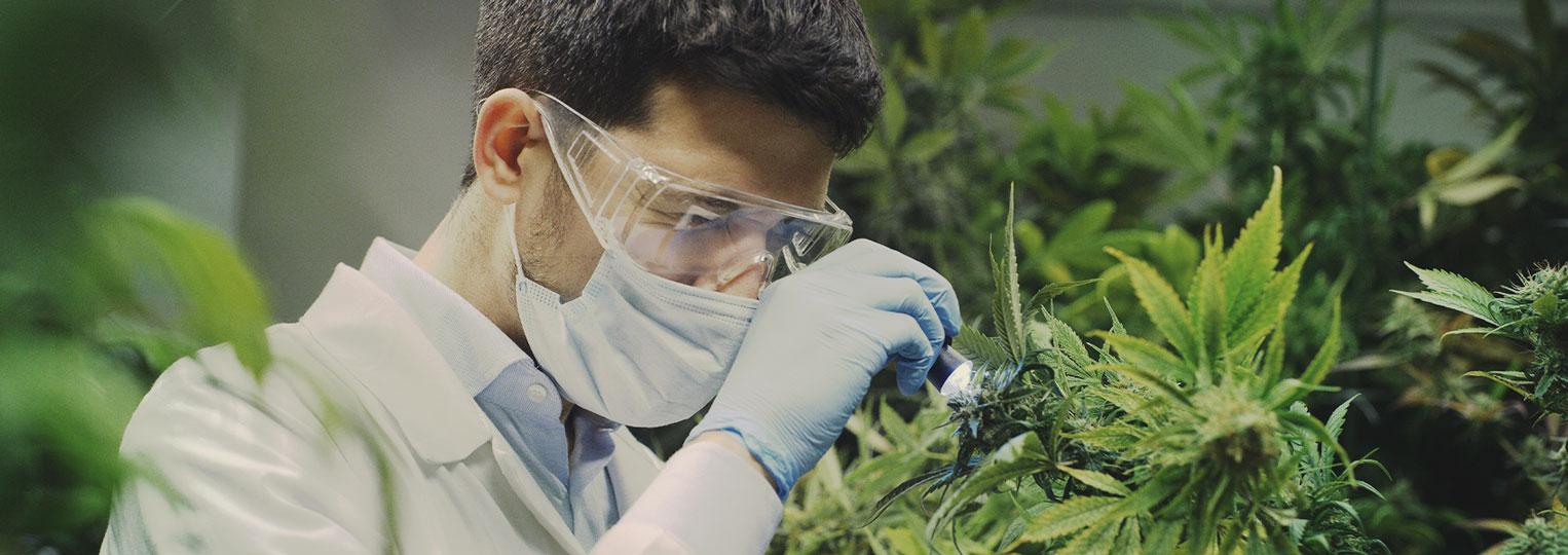 Los investigadores del cannabis solo han arañado la superficie