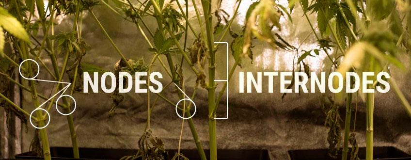 Nodos Internodes Cannabis Estructura de la planta