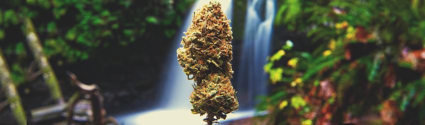 10 mitos sobre la marihuana desmentidos