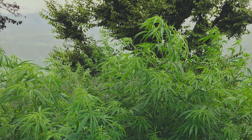 Términos del argot para la planta de marihuana