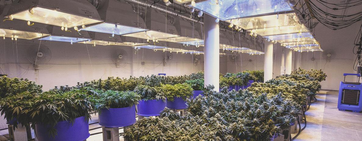 La profesionalización del cultivo de marihuana