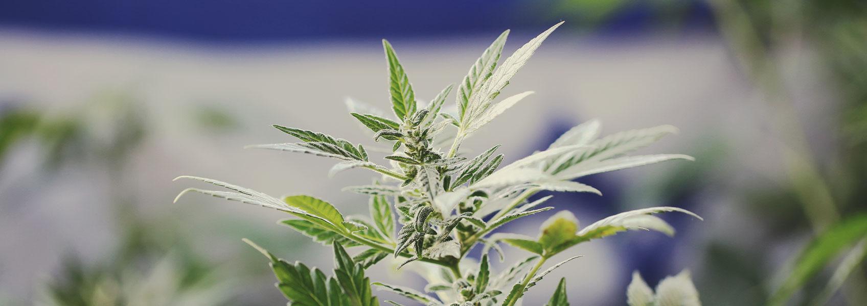 Investigación sobre la marihuana en Israel: Un modelo líder