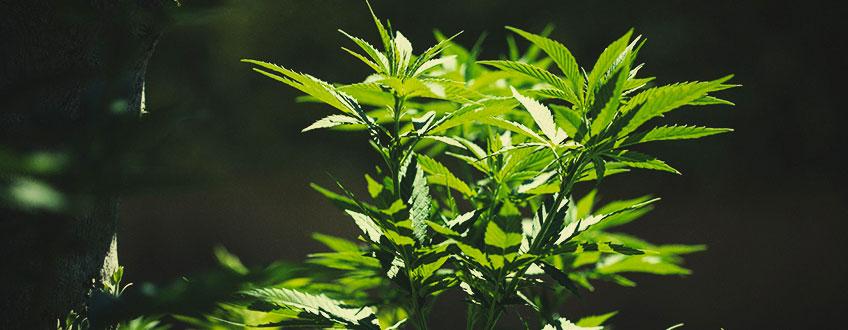 Cómo trasladar las plantas de marihuana de interior al exterior