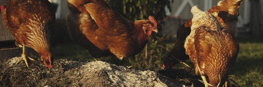 Compost orgánico de pollo