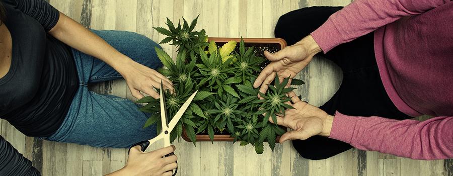 puedes mejorar la erección con cannabis con